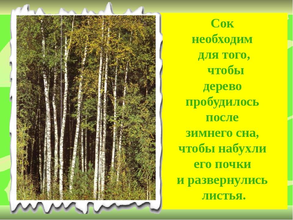 Сок необходим для того, чтобы дерево пробудилось после зимнего сна, чтобы наб...