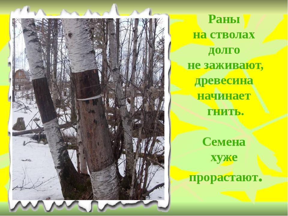 Раны на стволах долго не заживают, древесина начинает гнить. Семена хуже прор...
