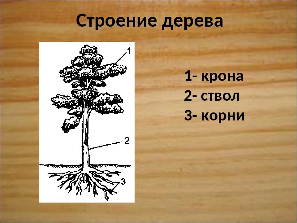 Строение дерева 1- крона 2- ствол 3- корни