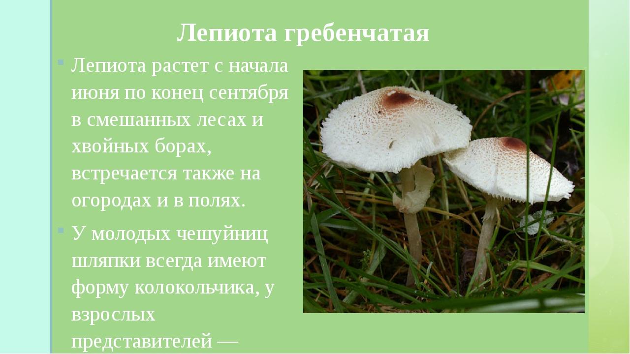 Лепиота гребенчатая Лепиота растет с начала июня по конец сентября в смешанн...