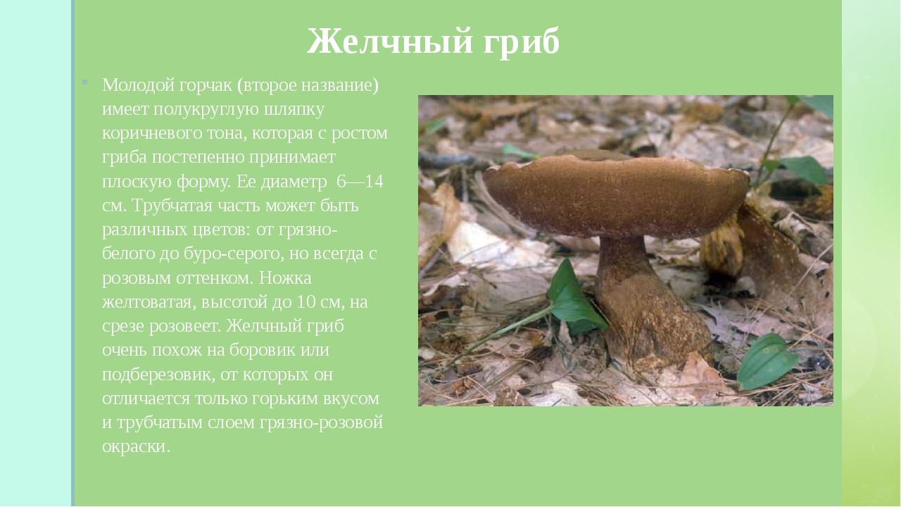 Желчный гриб Молодой горчак (второе название) имеет полукруглую шляпку корич...