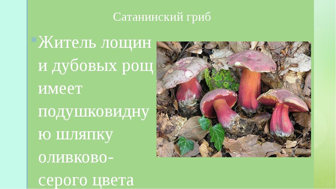 Сатанинский гриб Житель лощин и дубовых рощ имеет подушковидную шляпку оливк...