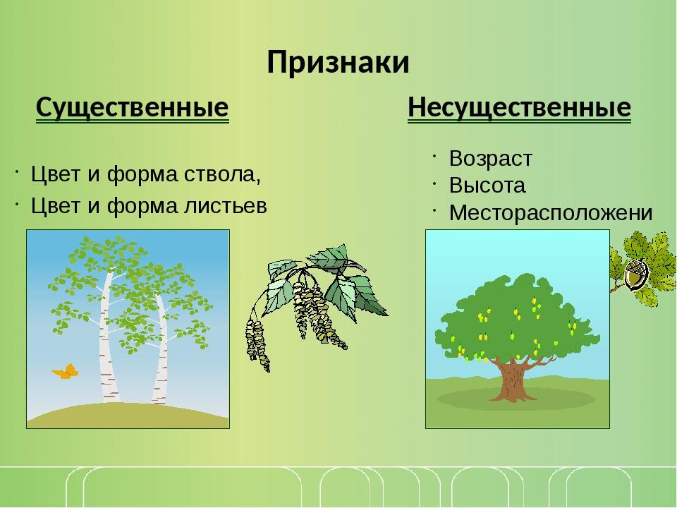 Признаки Существенные Несущественные Цвет и форма ствола, Цвет и форма листье...