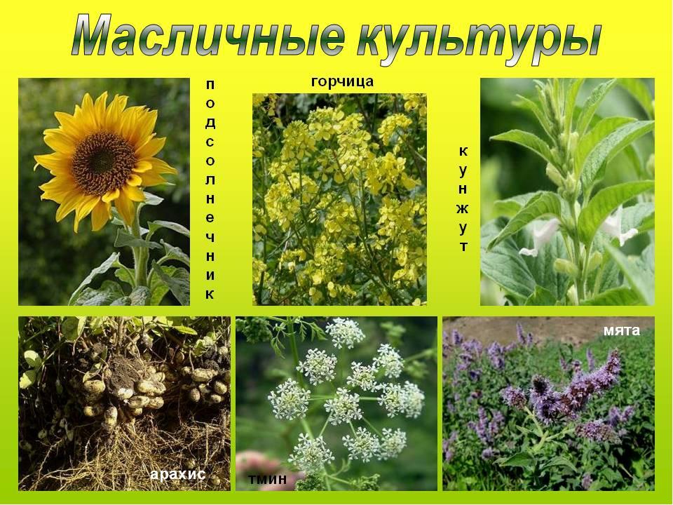 сборочной масличные растения фото и названия воротника шее