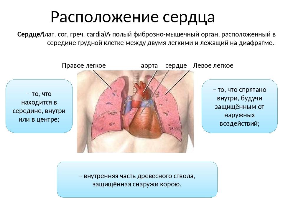 Расположение сердца – внутренняя часть древесного ствола, защищённая снаружи...