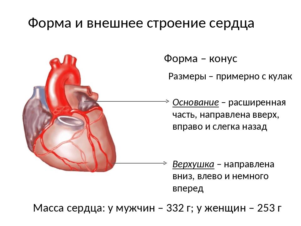 Форма и внешнее строение сердца Форма – конус Размеры – примерно с кулак Верх...