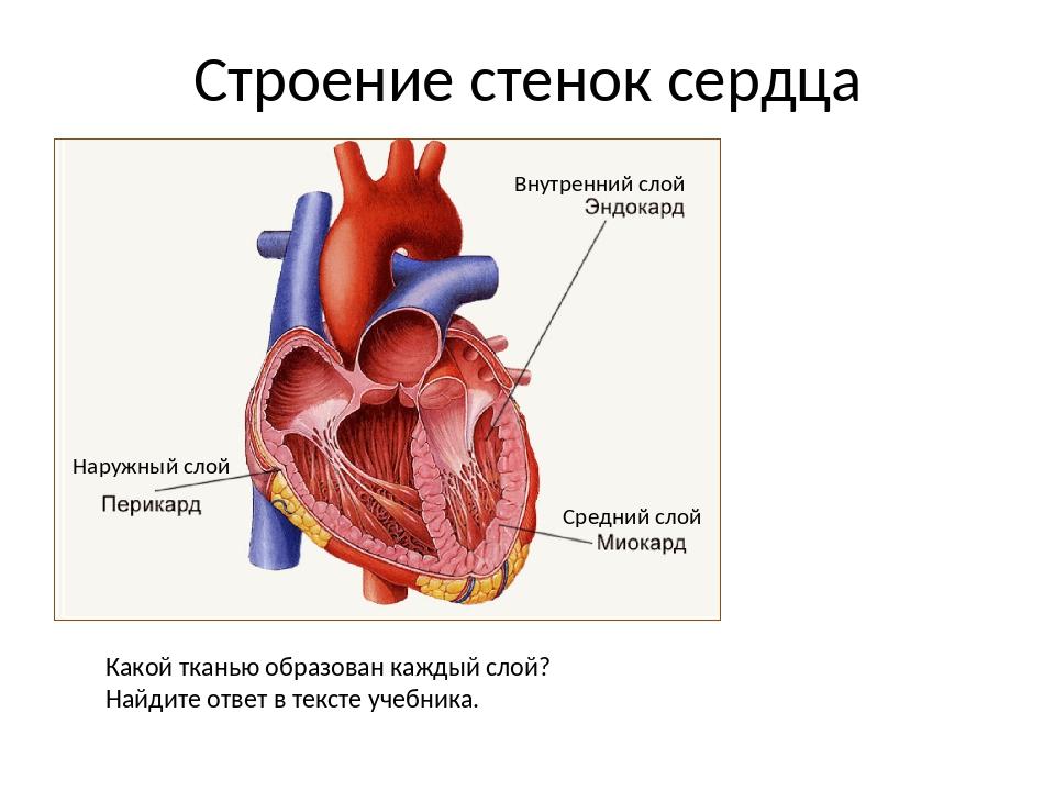 Строение стенок сердца Наружный слой Внутренний слой Средний слой Какой ткань...