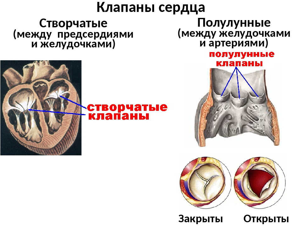 Клапаны сердца Створчатые (между предсердиями и желудочками) Полулунные (межд...