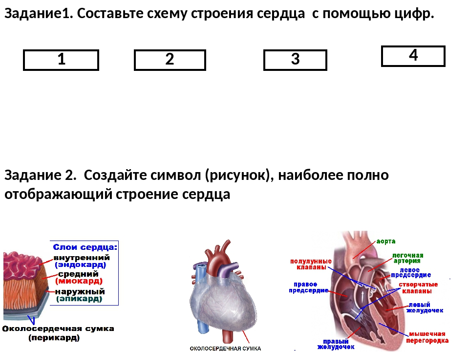1 2 3 4 Задание1. Составьте схему строения сердца с помощью цифр. Задание 2....