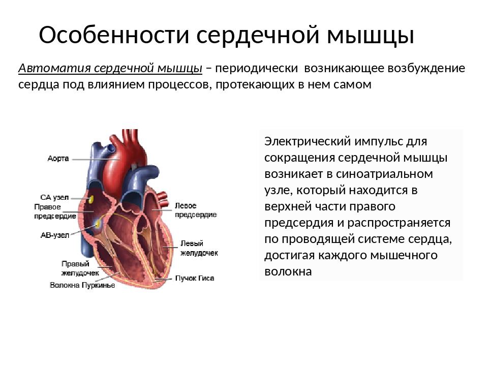 Особенности сердечной мышцы Электрический импульс для сокращения сердечной мы...