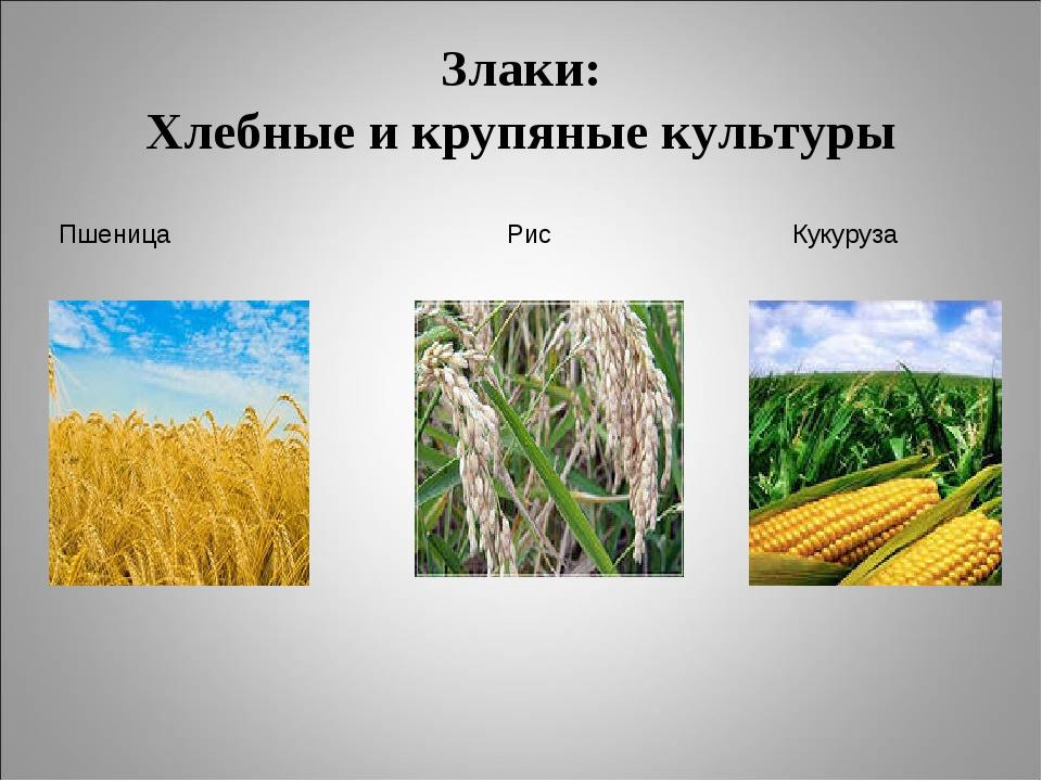объектов зерновые культуры картинки с названием автомобили