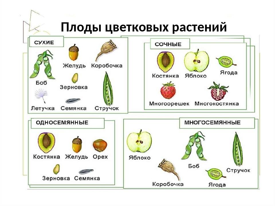 плоды растений с картинками список перечень необходимых