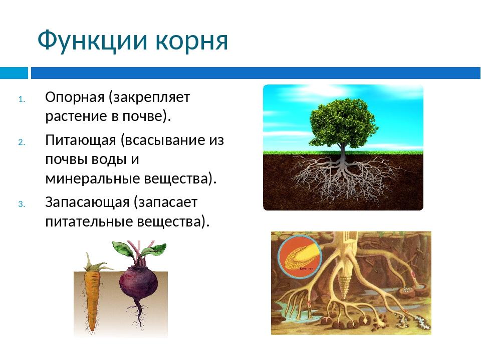 Функции корня Опорная (закрепляет растение в почве). Питающая (всасывание из...