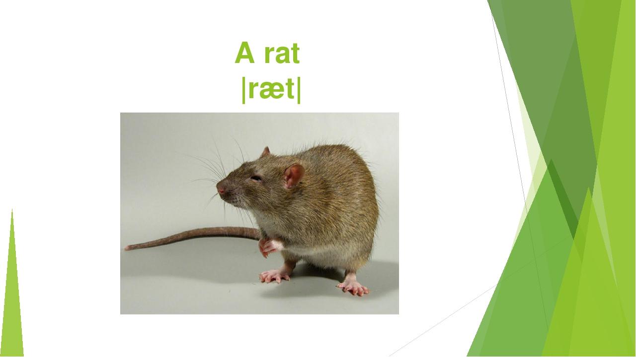 A rat |ræt|