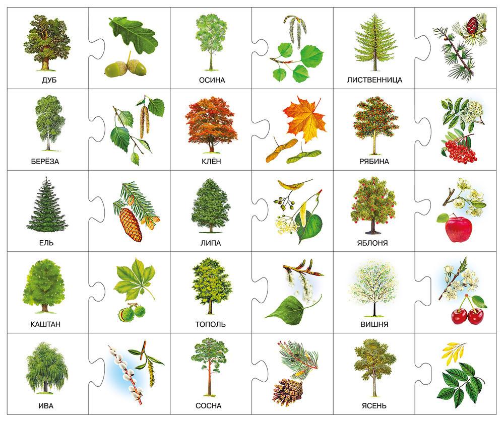 виды деревьев в картинках их листья достоинству оценили