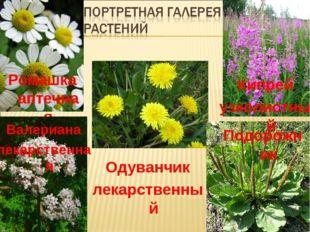 Ромашка аптечная Валериана лекарственная Одуванчик лекарственный Кипрей узкол