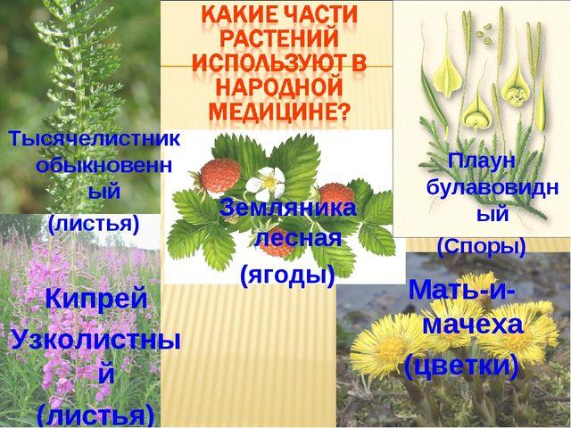 Плаун булавовидный (Споры) Земляника лесная (ягоды) Кипрей Узколистный (листь...