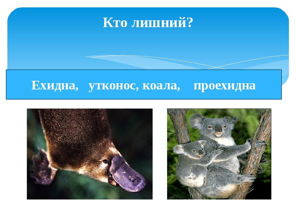 Кто лишний? Ехидна, утконос, коала, проехидна