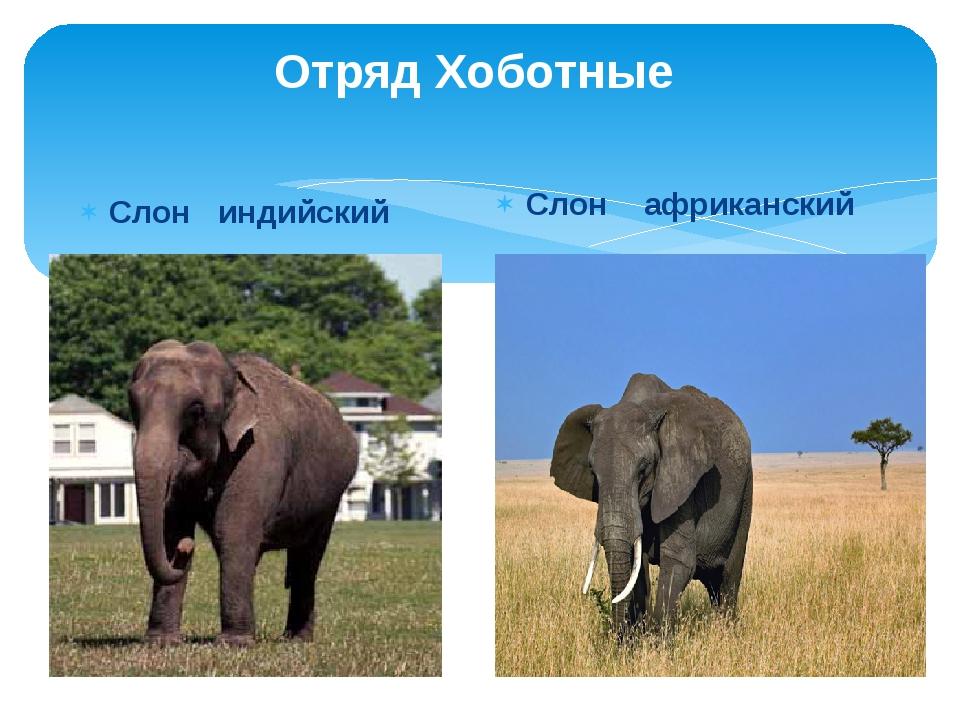 Отряд Хоботные Слон индийский Слон африканский