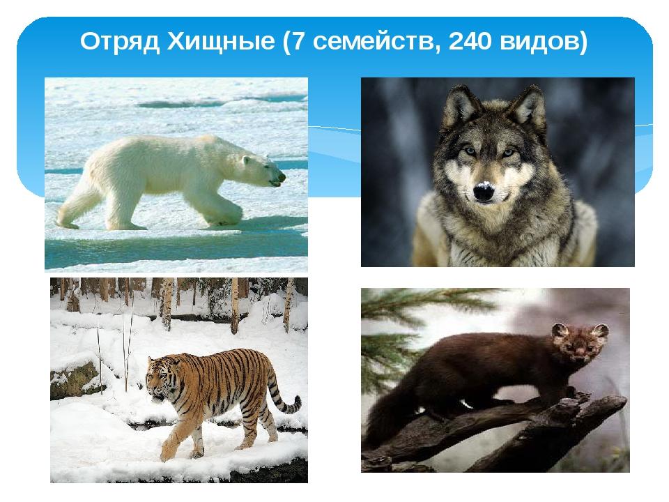 Отряд Хищные (7 семейств, 240 видов)