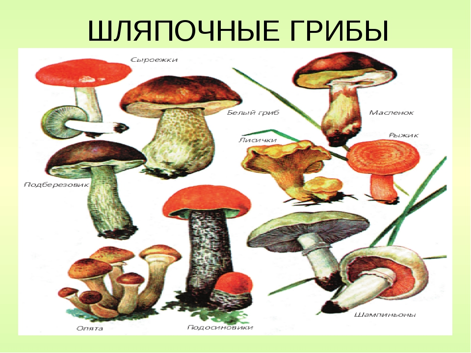 грибы шляпочные картинки мой