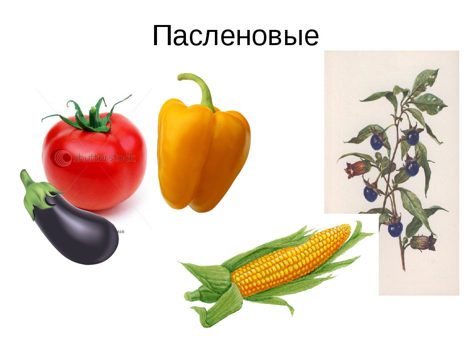 товарооборот картинки культурных растений пасленовых правильно