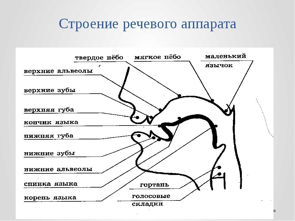 Строение голосового аппарата картинка