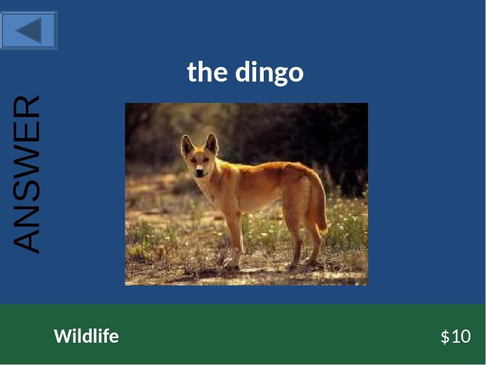 the dingo Wildlife $10 ANSWER