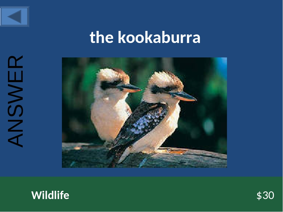 the kookaburra Wildlife $30 ANSWER