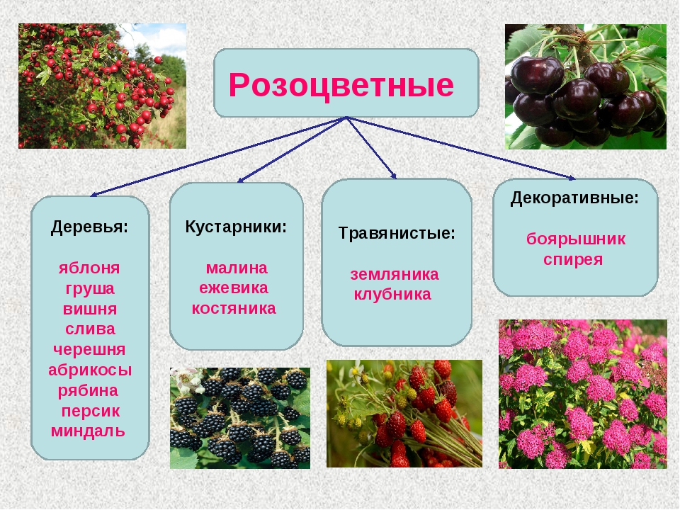 Семейство розоцветные представители с картинками
