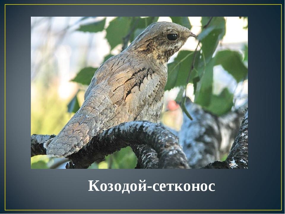 Козодой-сетконос
