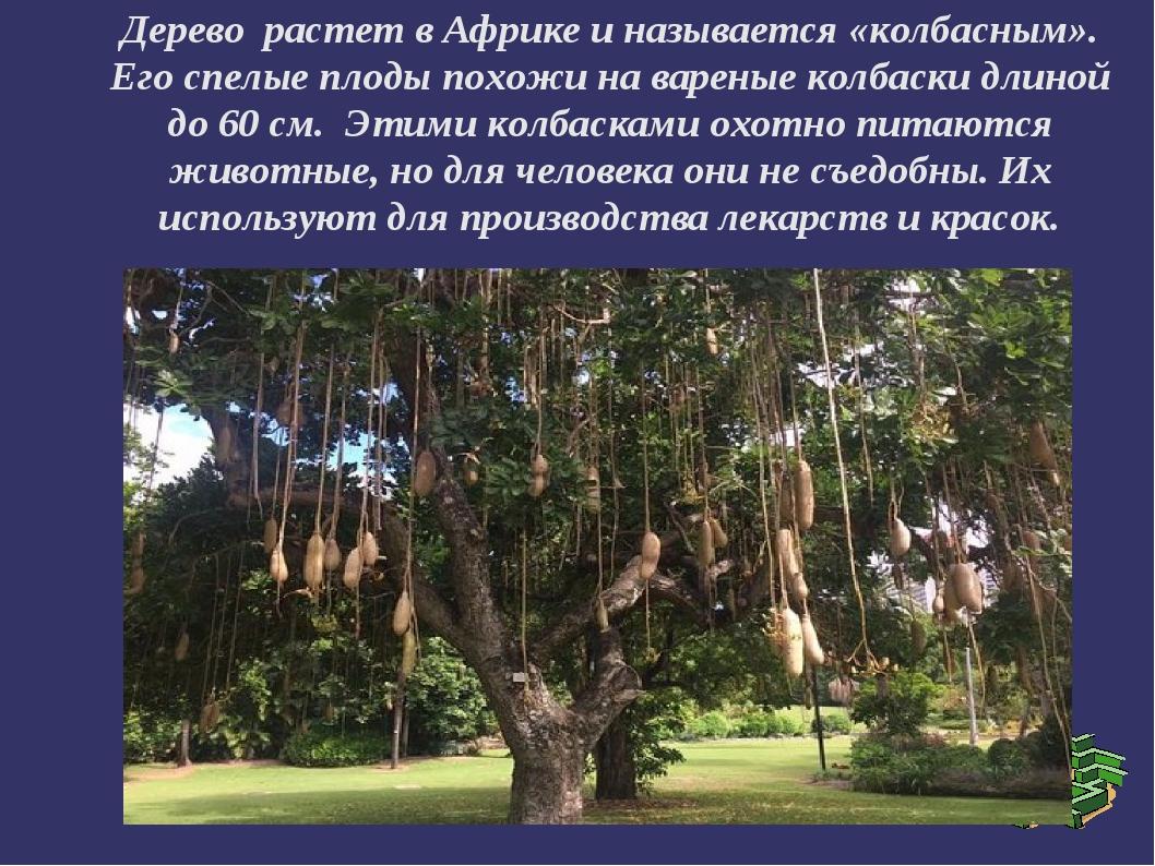 Дерево растет в Африке и называется «колбасным». Его спелые плоды похожи на в...