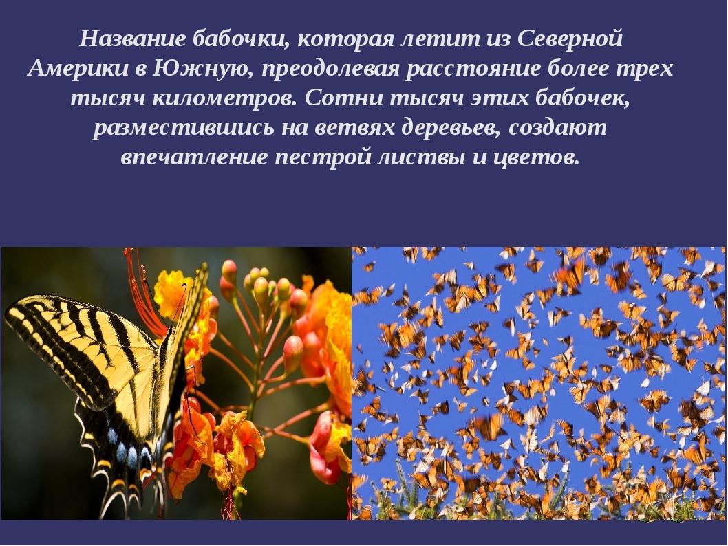 Название бабочки, которая летит из Северной Америки в Южную, преодолевая расс...