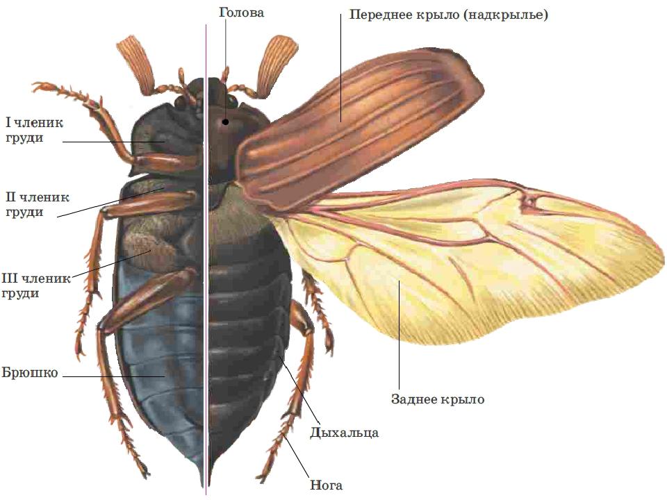 использовали картинки части к майскому жуку важным