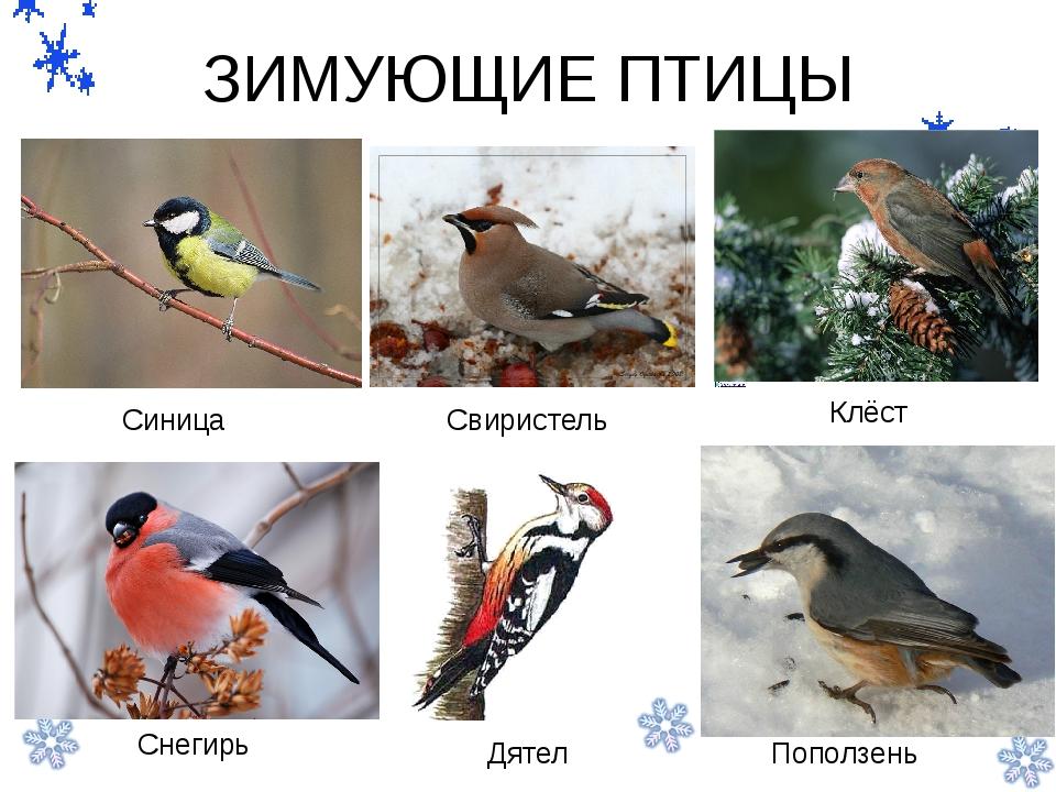 Птицы которые зимуют в беларуси картинки начало