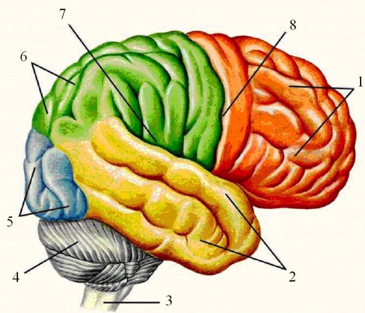большие полушария мозга картинка занялась
