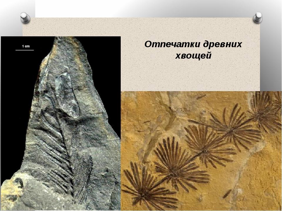 Отпечатки древних хвощей