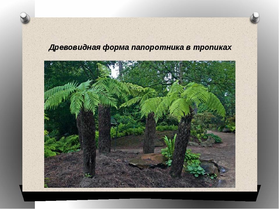 Древовидная форма папоротника в тропиках