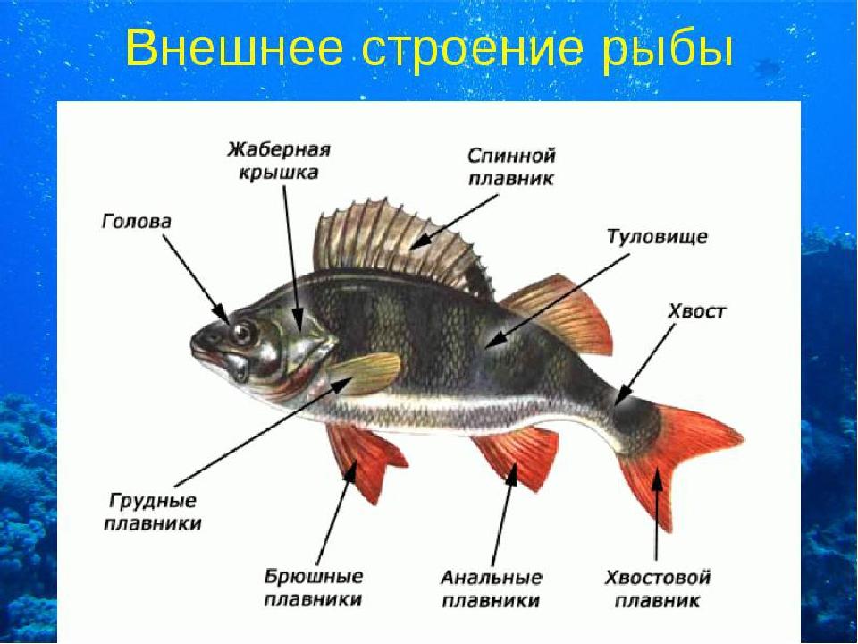 картинка части рыбы