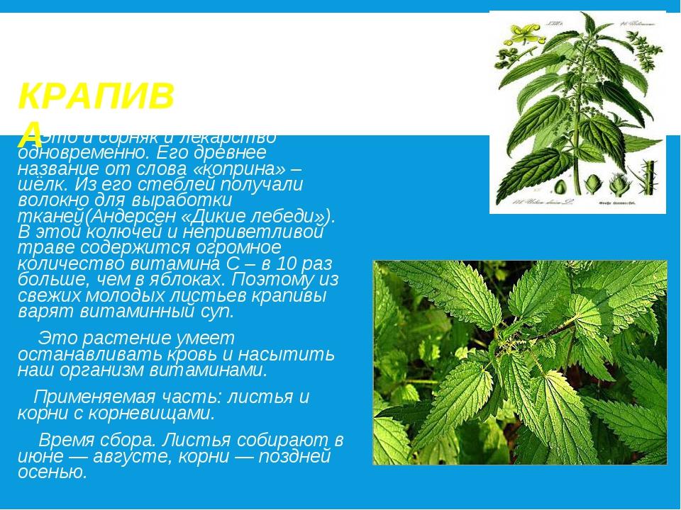 КРАПИВА Это и сорняк и лекарство одновременно. Его древнее название от слова...