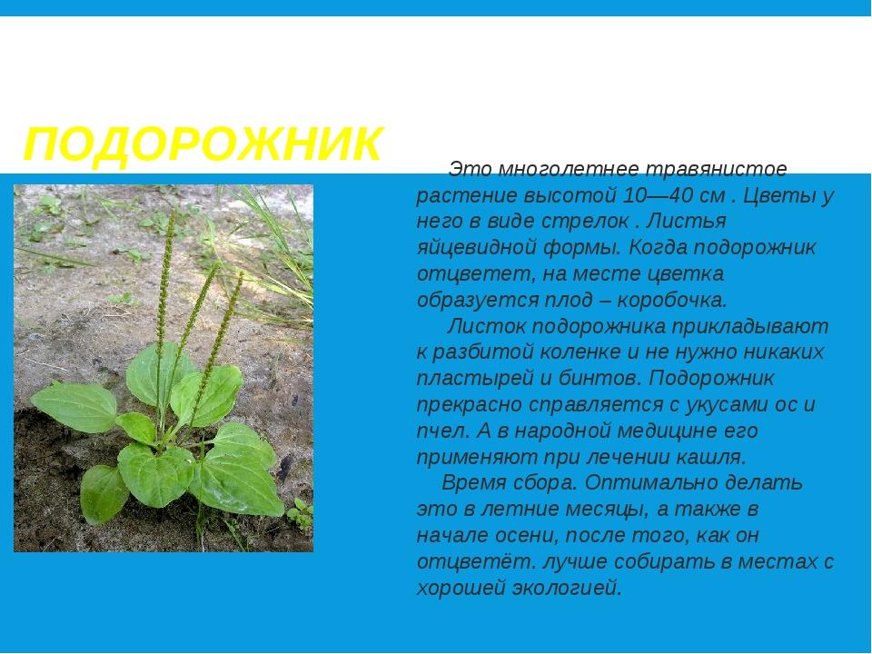 ПОДОРОЖНИК Это многолетнее травянистое растение высотой 10—40 см . Цветы у не...