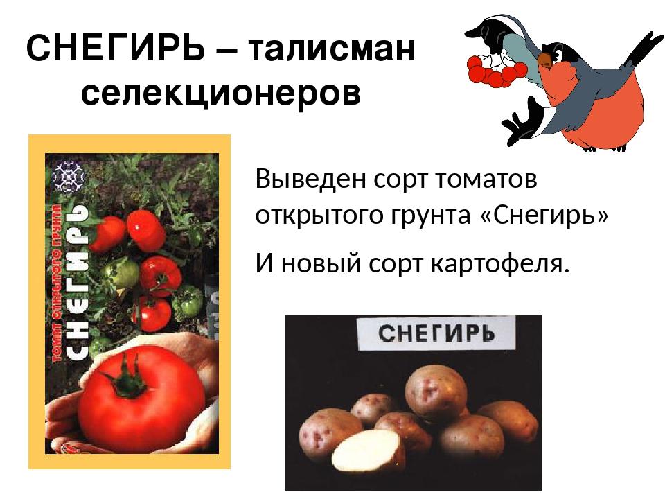 СНЕГИРЬ – талисман селекционеров Выведен сорт томатов открытого грунта «Снеги...
