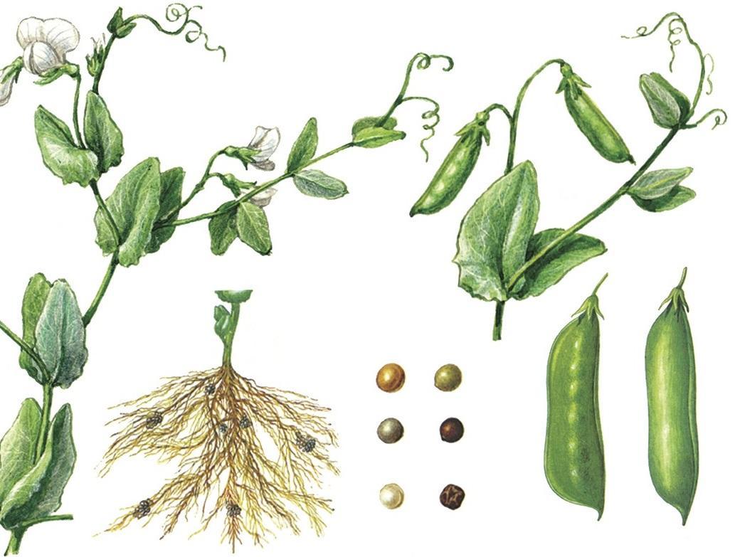 Картинки бобовых растений для детей