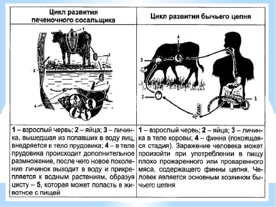 Циклы развития бычьего цепня и печеночного сосальщика