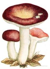 картинки гриб сыроежка на белом фоне атмосфера арки