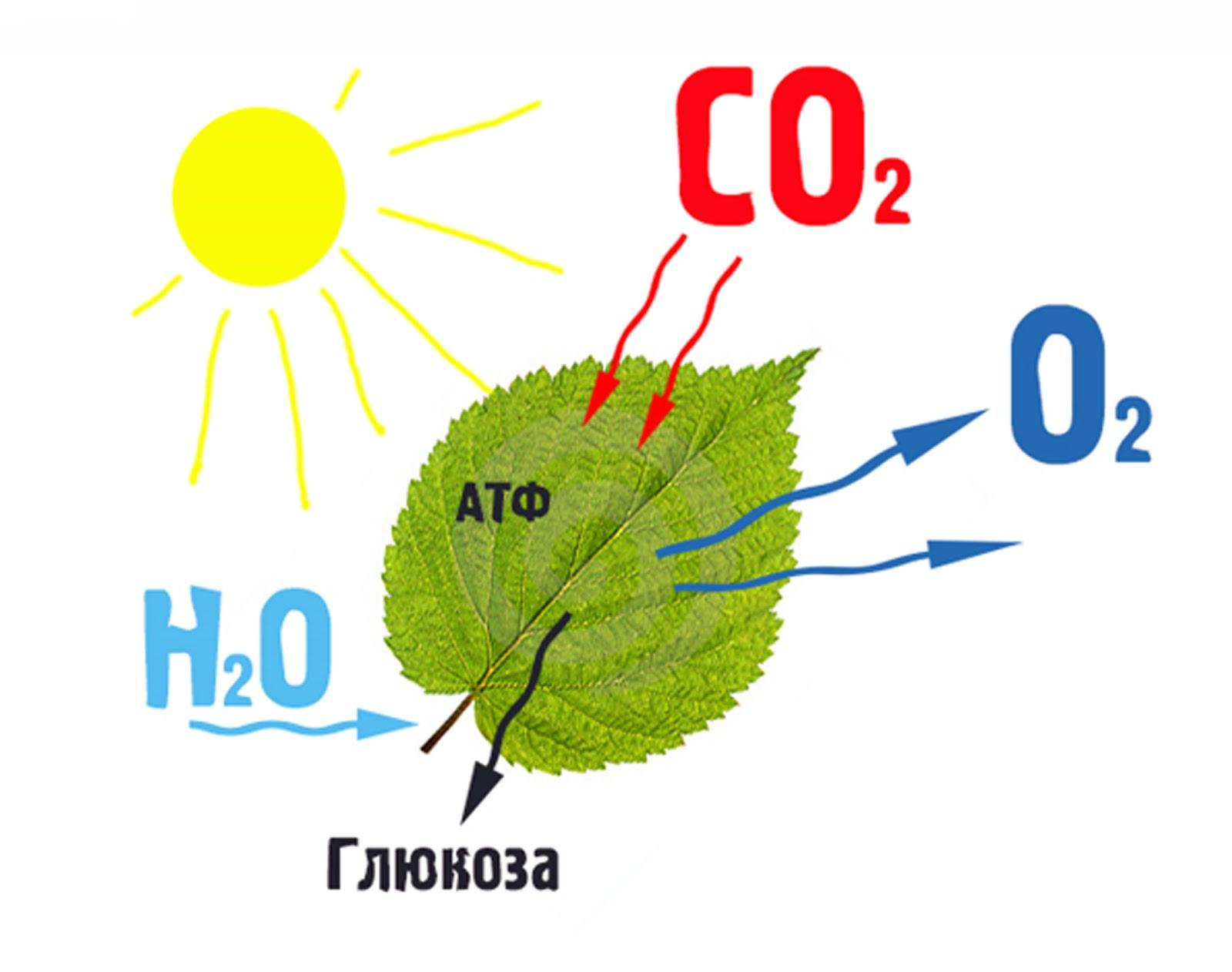 Картинка фотосинтез для детей