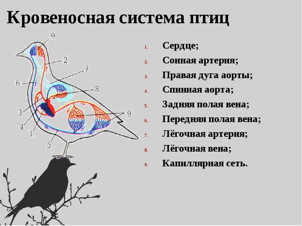 картинки кровеносная система птиц