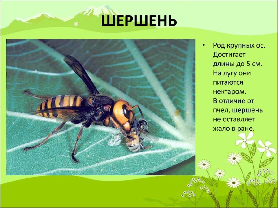 Опасные насекомые для детей в картинках