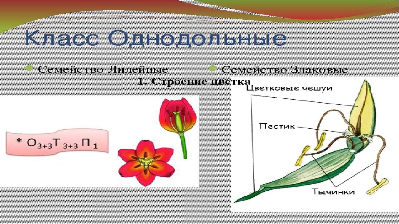 Цветок семейства злаковых