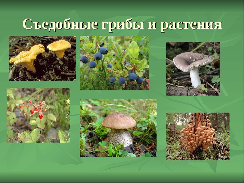 Картинки ядовитых грибов и ягод с названиями